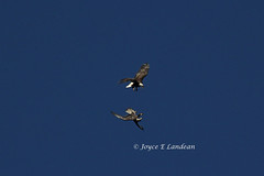 Eagle Disagreement_IMG_2367cm-20L (Joyce_E_Landean (Trying to get back at it)) Tags: two sky flip eagles disagreement conowingo twoeagles