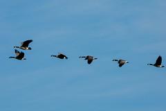 Heading South (cotarr) Tags: leica bird goose geotag chicagobotanicgarden birdinflight cameraraw temp1 vlux3 cbgwildlife iphonetracklogger