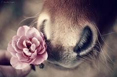 mini nose, mini rose {explored} (Jen MacNeill) Tags: roses horse flower animal rose hair petals mini whiskers pony smell sniff miniaturehorse muzzle foal gypsymarestudios jennifermacneilltraylor equinejmtcolor