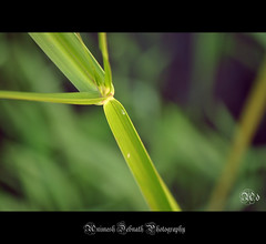 the green blade (Animesh2000) Tags: ocean road blue light sunset red sea orange cloud india flower macro reflection art home nature floral beautiful leaves night photography mono pattern artistic dusk kerala photograph calicut animesh debnath