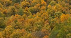 Autumn textures (II) (elosoenpersona) Tags: autumn del forest de natural asturias bosque otoño hermo fuentes monasterio cordillera reserva fagus hayas ibias sylvatica cangas narcea cantabrica elosoenpersona