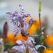 Natura prodiga di colori - Tricyrtis Empress
