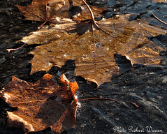 Gel de novembre.../ November with the ice... (Pentax_clic) Tags: november autumn leave ice automne canon novembre glace feuille g12