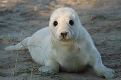 I'm cute,and I know it. (trickydicky1964) Tags: autumn black beach nature point grey coast eyes sand wildlife dunes north norfolk whiskers seal 7d seals british pup mammals 2012 blakeney halichoerus grypus sigma150500mmf563dgoshsm trickydicky1964