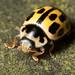14 spot Ladybird Notts WT (cpt James Clay)