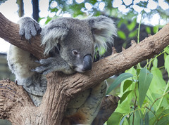 Curious koala (anekphoto) Tags: bear tree cute eye face smiling animal gum mammal happy grey zoo climb leaf branch native australian victorian australia brisbane victor claw koala eucalypt sit queensland friendly adelaide eucalyptus contact curious marsupial lonepinekoalasanctuary cinereus phascolarctos