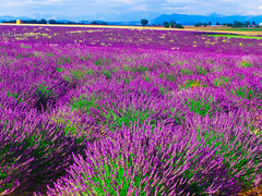 Purple Intense - Lavender Paradise (Marina BW) Tags: plant france flower field horizontal landscape outdoors photography vanishingpoint europe day pattern purple lavender nopeople growth plantation provence agriculture idyllic scenics freshness inarow tranquilscene cultivated traveldestinations colorimage provencealpescotedazur ruralscene beautyinnature thegalaxy nonurbanscene plateaudevalensole flickraward mygearandme rememberthatmomentlevel1 rememberthatmomentlevel2 rememberthatmomentlevel3 marinabwfs