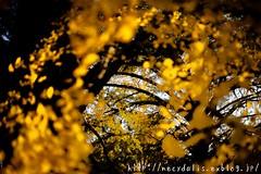 Corridor of yellow leaves... (necydalis) Tags: autumn plant vortex tree fall leaves yellow japan t japanese tokyo leaf nikon corridor tornado gingko 250 tints whirl carlzeiss makroplanar d700