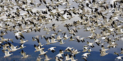 2012-12-02 Snow Geese (05) (2048x1024) (-jon) Tags: anacortes skagitcounty washingtonstate salishsea pugetsound chencaerulescens goose geese snowgoose oiedesneiges laconner conway firisland pacificnorthwest lessersnowgeese flying flight a266122photographyproduction snowgeese bird waterfowl d90archives skagit migration