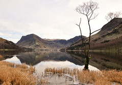DSC_0276 Buttermere tree (wilkie,j ( says NO to badger cull :() Tags: winter ice water clouds reflections reeds landscape nikon scenery december lakes lakedistrict scenic cumbria nationalparks nationaltrust buttermere scenicwater sceniclandscape