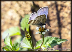 The Peablue, Pea Blue, or Long Tailed Blue (Lampides boeticus), Male (AntoGros) Tags: blue butterfly long wellington pea tailed nilgiris the lampidesboeticus longtailedblue lampides boeticus peablue thepeablue