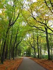 Vinny leaps into Autumn (ambo333) Tags: uk autumn trees england tree walk driveway cumbria spaniel cockerspaniel autumnal vinny vinnie brampton dogwalk olibondvinniejones olibond olibondspaniels olibondcockers olibondcocker