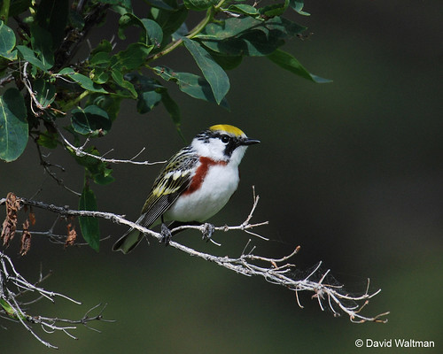 Photo - Chestnut-sided Warbler