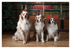 IMG_4404 (Aussies4me_ReenaG) Tags: christmas holiday tree dogs hats tucker boomer bluebelle librarybackdrop