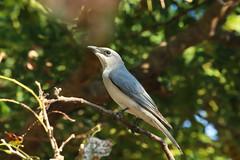 White-bellied Cuckoo-shrike (Janis May) Tags: eastpoint whitebelliedcuckooshrike