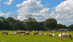 Landscape Fee Cow (JaapCom) Tags: jaapcom landscape natuur natural clouds wolken dutchnetherlands hollanda holland paysbas trees koeien koe animals animal cow
