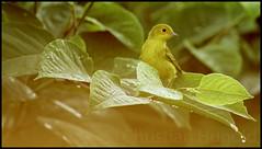 yellow warbler (Christian Hunold) Tags: bird philadelphia warbler songbird yellowwarbler johnheinznwr woodwarbler christianhunold gelbwaldsnger