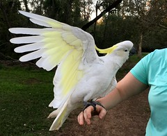 Hello! (Grenzeloos1) Tags: cockatoo sulphurcrested brisbane winter 2016