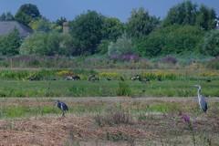 SAM_0744 (Duncan.B) Tags: wwtbarnes wildlife london barnes samsungnx samsung nx10 heron greyheron