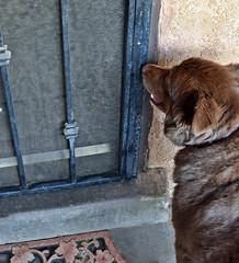 She Wanted In! (Packing...So Excited!!!) Tags: ddc 1756 bigideas goodintentions outside backyard quickbackyardwalk shizandra wantsin hot sunny uv10 high