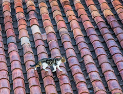 Cool Cat on a Tile Roof (cheryl strahl) Tags: cat tiles peru cusco tileroof