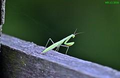 DSC_0028n wb (bwagnerfoto) Tags: imdkoz sska mantis religiosa europische gottesanbeterin european jtatos man insect rovar macro closeup regly csernyd tolna green
