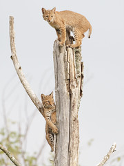 Bobcats (Steve Gifford - IN) Tags: 2016 hilook proposal lens cloth steve steven gifford haubstadt indiana