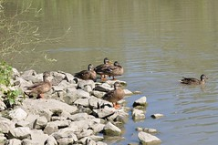 life at the pond (ladybugdiscovery) Tags: ducks duck pond life water rocks basking swimming