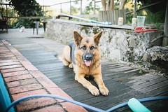 Lana (pablofalv) Tags: 2016 agosto dana dog lana pastoraleman perra pica verano gijn principadodeasturias espaa es