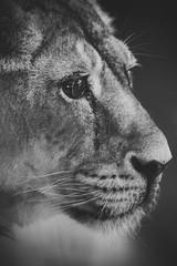 Leona (agermay) Tags: sigma 70210mm f28 nikon d7200 zoo animales