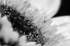 Flower! (_ranhada) Tags: flower bw macro photostacking canon1100d manuallenses nikkorpc105mmf25 macrophotography closeupphotography bug