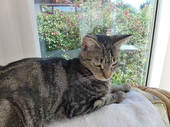 Deep in Thought ! (Mara 1) Tags: kitten tabby stripes black grey coat fur face whiskers paws