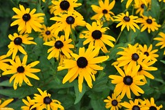 Yellow (Jake (Studio 9265)) Tags: spring mill state park mitchell indiana usa united states america outdoor photography nature nikon d5000 flowers black eyed susans garden