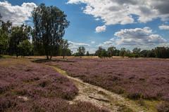 Boberger Heide (Elbmaedchen) Tags: bobergerdnen bezirkbergedorf boberg heideblte hamburg wanderweg landschaft