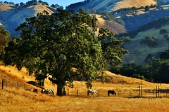 Summertime California (Michael T. Morales) Tags: oaktree coastliveoak horses animal tree country rural tularcitos mountains grass carmelvalley montereycounty