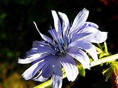 Blues (Martha-Ann48) Tags: blues stamens chicory flower blossom bloom plant green stalk booked macro serrated edge curly petals common cichorium intybus perennial herb