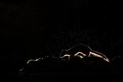Pine marten (Mike Mckenzie8) Tags: martes scottish wild wildlife mammal mustelid night time flash photography back lit rim monochrome black white nocturnal dusk fur