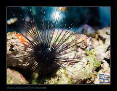AMBdiadema-setosum7370 (kactusficus) Tags: reef marine trade aquarium diadema setosum diademe diadem urchin oursin echinoderme echinoderm