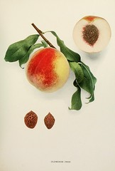 n406_w1150 (BioDivLibrary) Tags: andrewjackson 18151852 downingaj fruitculture newyorkstate portraits prunuspersica rosaceae newyorkbotanicalgardenluesthertmertzlibrary bhl:page=6593857 dc:identifier=httpbiodiversitylibraryorgpage6593857 oldmixonfreepeach