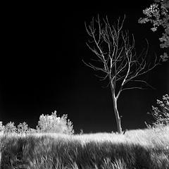 Sandbanks Provincial Park (Howard Sandler (film photos)) Tags: infrared ir film blackandwhite sandbanks landscape zenzanon rolleiir400