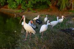 Muscovies and Ibises - Boca Raton, FL - 8.28.16 (carissaconti) Tags: muscovy ducks ibis florida birds animal wildlife