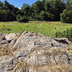 Rock break (baalands) Tags: pasture western maryland meat goat performance test kiko bucks grazing rock break