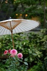 Tokyo Dahlia (Minami45) Tags: xpro1 fujifilm flower dahlia pink red fujinon tokyo japan bokeh xf35mm beautiful