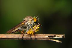 Prey and Predator ( ) Tags: prey predator hunting hunter wildlife wild macro macroandcloseup macrofilter olympus epl1 1442mm dhaka bangladesh shishir3457gmailcom robber fly robberfly