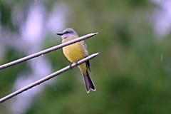 Mojado (Roberto Segura) Tags: pecho amarillo tropical kingbird tyrannus melancholicus bird birding birdwatching birds rain green yellow trees costarica pentax ks2