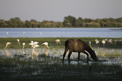 Flamingo and horses friendship (Osama Ali Photography) Tags:        horse horses caballo landscape marsh wildlife wild salvaje animal animals canon green verde fauna sunset beauty spain espaa water nature natural natura naturaleza bird