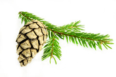 Spruce branch with cone on a white (mikhafff1984) Tags: cone pine holiday branch isolated adorn tree decoration needles green white ornament brown celebrate fir feast decorate decorative newyear twig nice rejoice winter spruce december joy beautiful