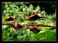 Wanderung der Lederwanzen (karin_b1966) Tags: kfer bug insekt insect garten garden natur nature 2016 lederwanzen yourbestoftoday