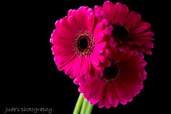 Just a touch of pink (judethedude73) Tags: flower flowerphotography flowers cerise gerbera art