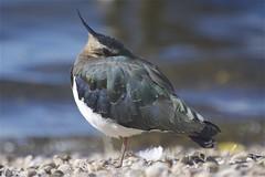 Lapwing (Malc H) Tags: lapwing attenborough bird gravel naturereserve